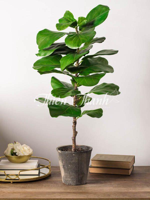cây bàng sigapore