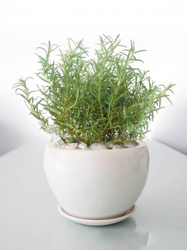 cây hương thảo