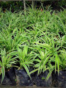 cây cỏ lan chi