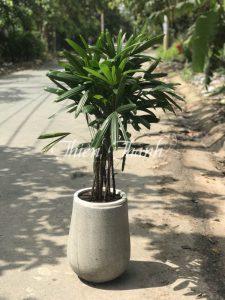 cây Trúc Hawai